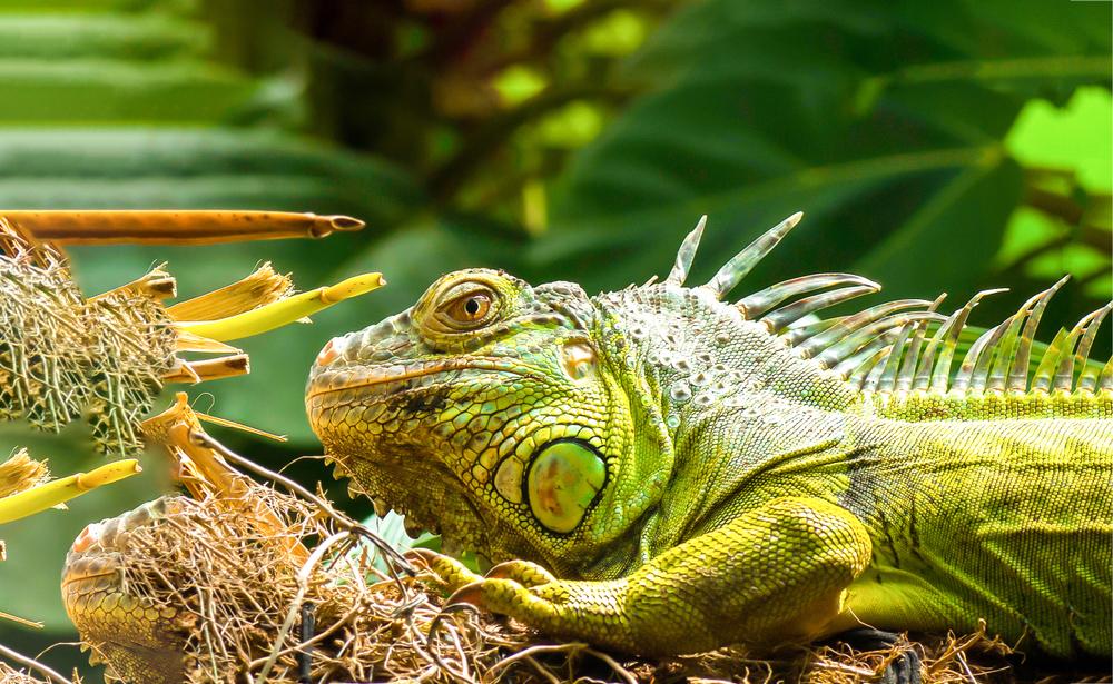 Iguana population in Florida